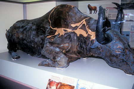 Steppe Bison, known as Blue Babe, found in placer mine in 1979, University of Alaska Museum of the North, Fairbanks, Alaska
