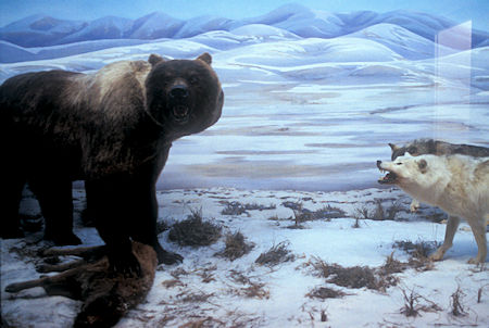 Giant Short Faced Bear and Wolf exhibit, Beringia Museum, Whitehorse, Yukon Territory