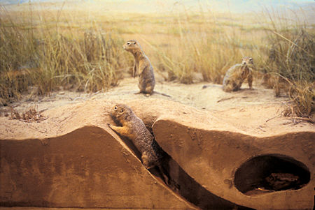 Artic Ground Squirrel exhibit, Beringia Museum, Whitehorse, Yukon Territory
