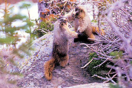 Marmots at Logan Pass, Glacier National Park, Montana