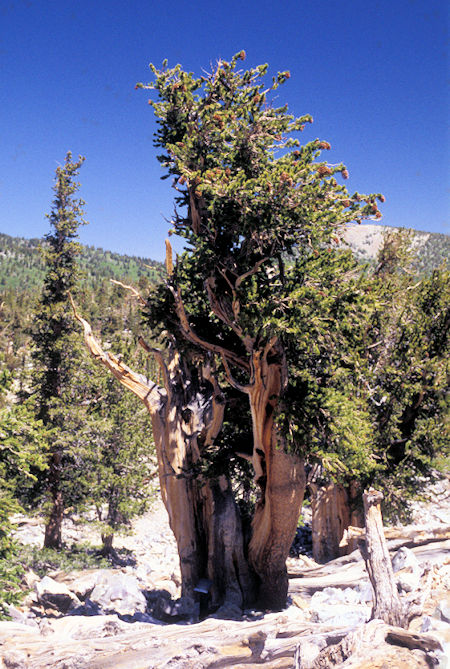 Bristlecone Pines, Great Basin National Park
