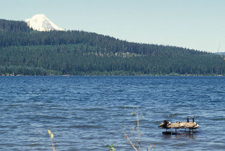 Mt. Hood and waterfowl at Timothy Lake, Oregon