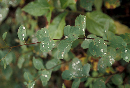 'Diamonds' (water drops) on leaves on Lake Creek Trail to Black Lake, Pasayten Wilderness, north of Winthrop, Washington